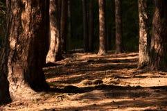 Arboleda del pino imagen de archivo libre de regalías