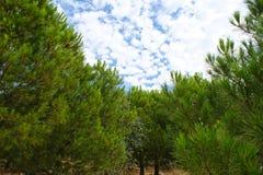 Arboleda del pino cubierta con las nubes sobre el cielo azul fotografía de archivo