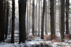 Arboleda del pino en invierno Foto de archivo libre de regalías
