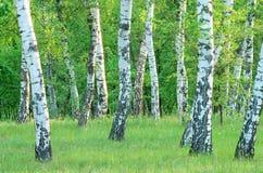 Arboleda en el bosque en la madrugada, verano del abedul Fotos de archivo libres de regalías