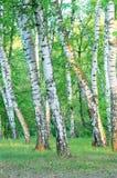 Arboleda en el bosque en la madrugada, verano del abedul Foto de archivo