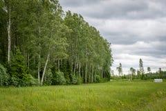 Arboleda en el viento, Letonia del abedul Foto de archivo libre de regalías