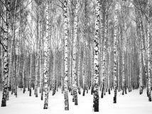 Arboleda hermosa del abedul del invierno blanco y negro Fotografía de archivo