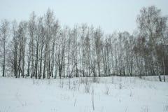 Arboleda joven del abedul del invierno imagenes de archivo