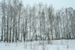 Arboleda joven del abedul del invierno foto de archivo
