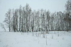 Arboleda joven del abedul del invierno fotos de archivo