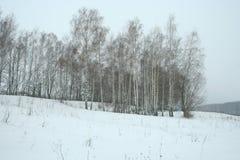 Arboleda joven del abedul del invierno foto de archivo libre de regalías