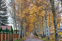 Arboleda a lo largo del camino, callejón del abedul del abedul en otoño fotografía de archivo