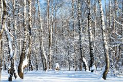 arboleda nevada del abedul en bosque en día soleado Foto de archivo libre de regalías