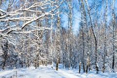 arboleda nevada del abedul en bosque en día soleado Imágenes de archivo libres de regalías