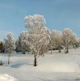 Arboleda nevada del abedul en la cuesta del invierno Fotos de archivo libres de regalías
