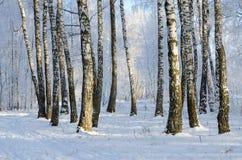Arboleda pintoresca del abedul en la escarcha, paisaje del invierno Fotografía de archivo libre de regalías
