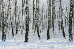 Arboleda pintoresca del abedul del invierno en escarcha Imagenes de archivo