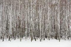 Arboleda vacía de los árboles de abedul en invierno Imágenes de archivo libres de regalías