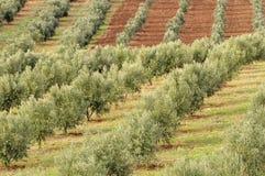 Arboleda verde oliva Fotografía de archivo libre de regalías