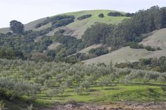 Arboleda verde oliva Fotos de archivo