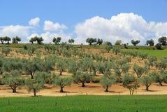 Arboleda verde oliva fotografía de archivo