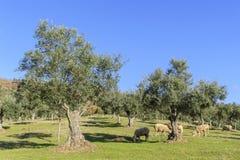 Arboleda verde oliva con las ovejas que pastan imagenes de archivo