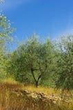 Arboleda verde oliva en Córcega Imagen de archivo libre de regalías