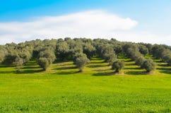 Arboleda verde oliva en el campo de Lazio Fotos de archivo libres de regalías
