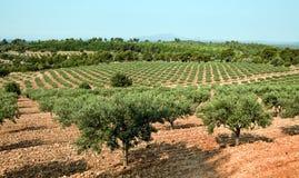 Arboleda verde oliva en Francia Foto de archivo