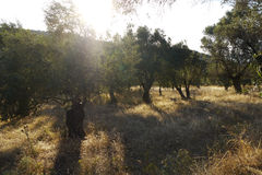 Arboleda verde oliva en Grecia Imagenes de archivo