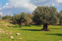 Arboleda verde oliva en Israel Fotografía de archivo libre de regalías