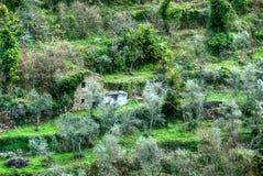 Arboleda verde oliva en Italia foto de archivo