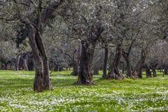 Arboleda verde oliva en la primavera Fotos de archivo libres de regalías