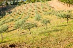Arboleda verde oliva en las colinas imagen de archivo libre de regalías