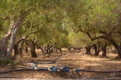Arboleda verde oliva irrigada Imagen de archivo libre de regalías