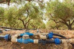 Arboleda verde oliva irrigada Fotografía de archivo