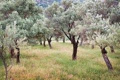 Arboleda verde oliva, Turquía Fotografía de archivo