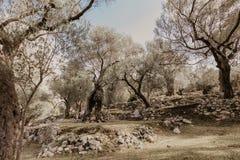 Arboleda verde oliva vieja foto de archivo