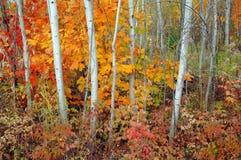Arboleda y arces de Aspen en otoño Foto de archivo libre de regalías