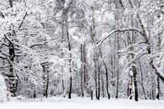 arboleda y roble del abedul en bosque nevoso en invierno Fotografía de archivo libre de regalías