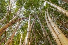 Arboledas de bambú largas Visión ascendente Fotos de archivo