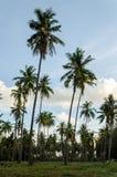 Arboledas de un coco en fondo del cielo azul Imagen de archivo libre de regalías