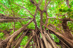 Arbor of old banyan tree. In tropical forest Royalty Free Stock Photos