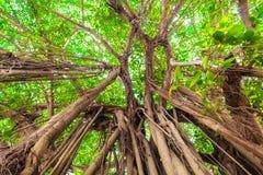 Arbor of old banyan tree Royalty Free Stock Photos