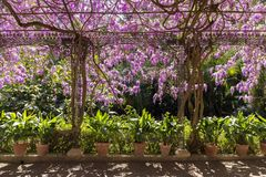 Arbor with pots and flowers wisteria royalty free stock photos