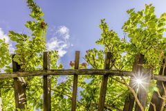 Arbor roof with vegetation. Arbor roof with green lush vegetation small red flowers and strong sun rays Royalty Free Stock Photos