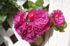 Arbor Roses Royalty Free Stock Photos