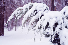 Arbor vitae branches covered with snow Royalty Free Stock Photos