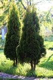 Arbor vitae in garden Stock Image