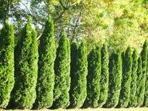 Arbor Vitae Hedgerow-2 Stock Photography
