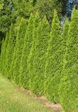 Arbor Vitae Hedgerow-5 Royalty Free Stock Photo
