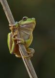 arborea青蛙绿色雨蛙叶子芦苇结构树 免版税库存照片