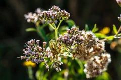 Arborea de Erica, Valconca, Itália fotografia de stock royalty free