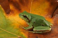 Arborea del Hyla (rana di albero verde) Fotografie Stock
